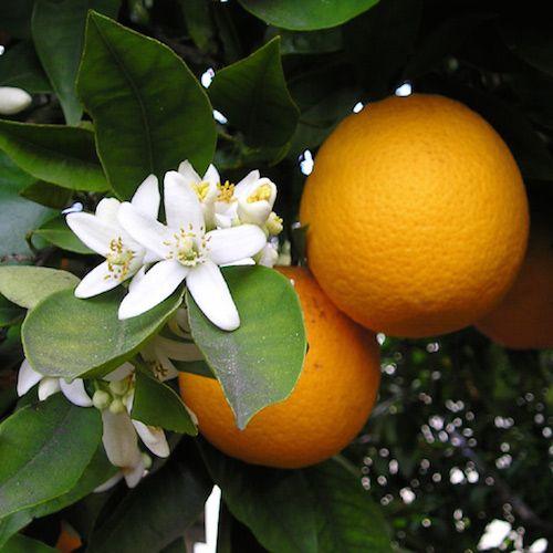Sweet Orange